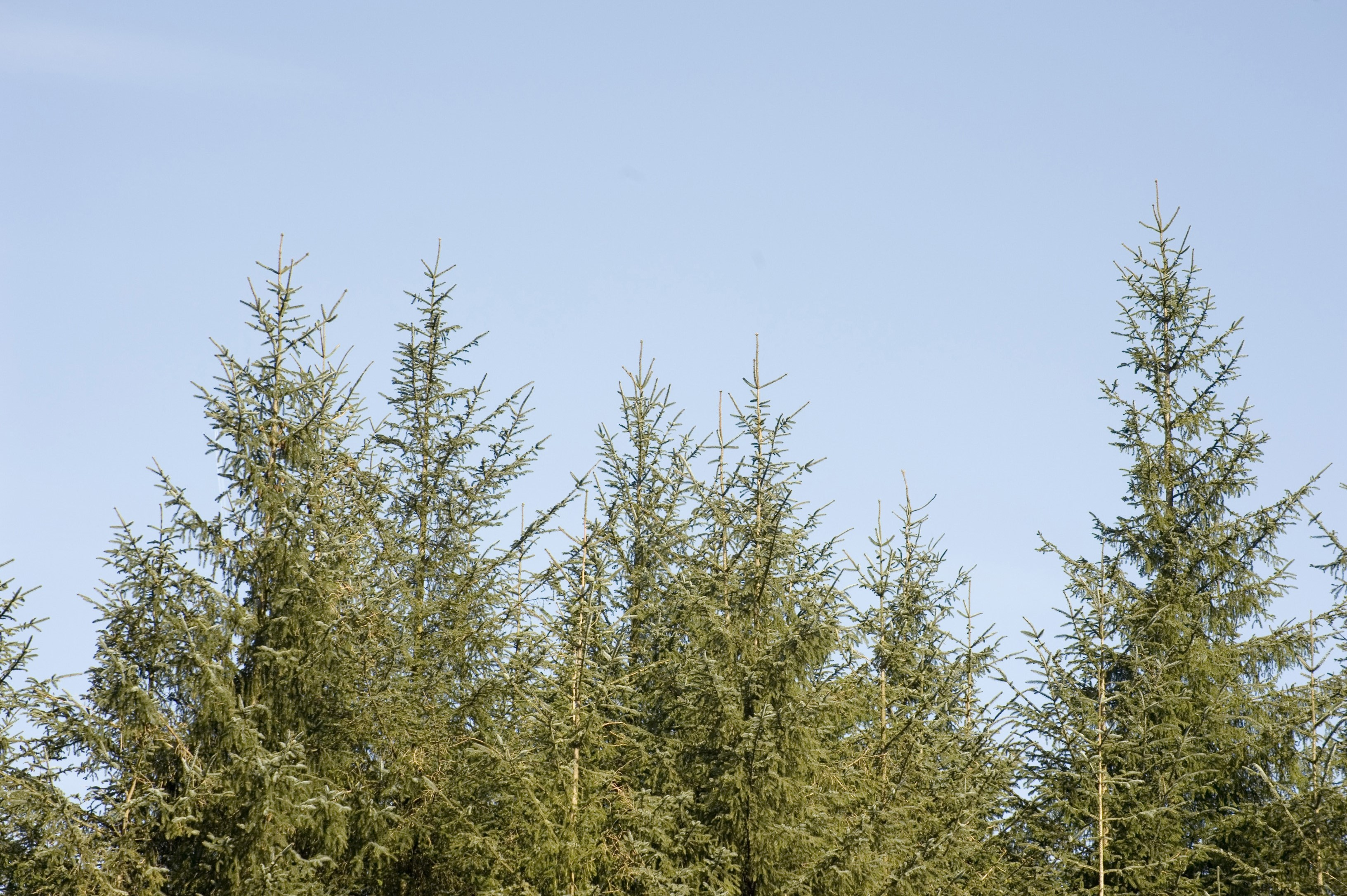 Pine Plantation Renewable Resource Free Backgrounds And